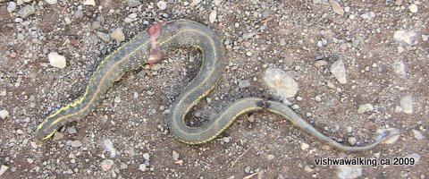 dead garter snake killed by an ATV