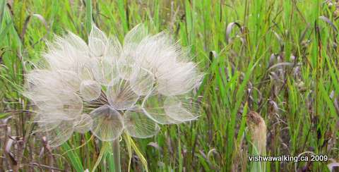 Trans Canada Trail, seed flower on trail south of Loucks Road